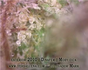 moby-dick-dinafem-yerbaguena-growshop-online-petrel-alicante