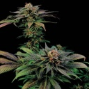 Blue Widow - Dinafem -