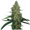 G13 Haze  - Barney´s farm seeds feminized -