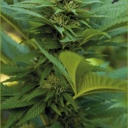 LSD  - Barney´s farm seeds feminized-