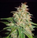 Mazar x white rhino - World of seeds -