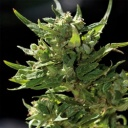 Sweet Tooth  - Barney´s farm seeds feminized -