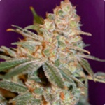Black Diesel - Advanced Seeds -