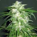 Ice kush - Advanced seeds -