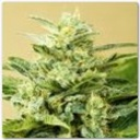 Auto Low Girl - Advanced Seeds -
