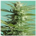 Auto Sweet Dwarf - Advanced Seeds -