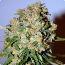 Critical - Advanced seeds -