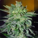 Haze Mist - Advanced Seeds -