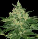 Afgan kush - World of seeds -