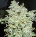 Afgan kush special - World of seeds -