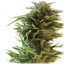 Amnesia Lemon  -Barney´s farm seeds feminized-