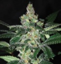 Amnesia - World of seeds -