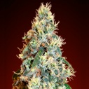 Auto Jack Herer - Advanced seeds -