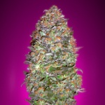 Auto NYC Diesel - Advanced seeds -