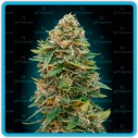Auto Skun 47 - Advanced seeds -