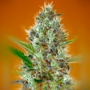 Auto Somango - Advanced seeds -
