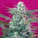 Big Foot - Sweet seeds -