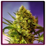 Big Devil 2 (Autofloracion)- Sweet seeds -