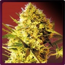 Big Devil (Autofloracion)-Sweet seeds-