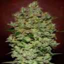 Auto Bio Diesel Mass - Advanced Seeds -