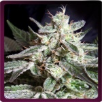 Black Jack -Sweet seeds-