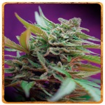 Black Jack (Automatica)- Sweet seeds -