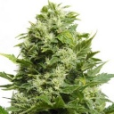 Blue Cheese -Barney´s farm seeds feminized-
