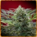 Cream 47 - Sweet seeds -