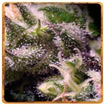 Cream Caramel (Automatica)- Sweet seeds -
