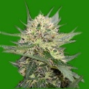Critical Magic - Moon Seeds -