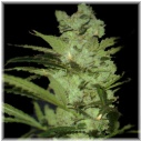 Critical neville haze -Delicious-