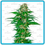 Early skunk auto - Sensi seeds -