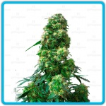 Early skunk - Sensi seeds -