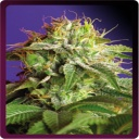 Green Poison -Sweet seeds-