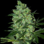 Green Love Potion - SamSara Seeds -