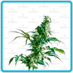 Mexican sativa - Sensi seeds -