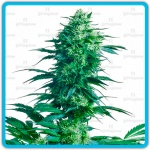 Mother`s finest - Sensi seeds -