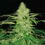 Nothern Light - Pyramid seeds -