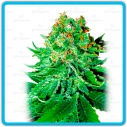 Northern lights auto - White label -