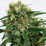 Phatt Fruity  - Barney´s farm seeds feminized -