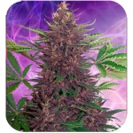 Purple Kush - Buddha seeds -