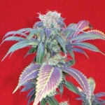 Purple Haze #1 -Positronic-