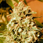 Somango widow - Advanced seeds -