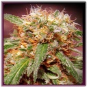 Sweet Tai -Sweet seeds-