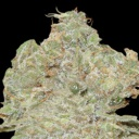 Strawberry Blue -World of seeds-