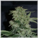 Super Hash - Pyramid seeds -