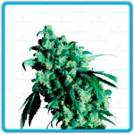 Super skunk - Sensi seeds -