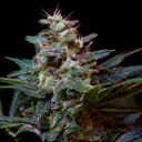 Sweet Purple - Paradise Seeds -