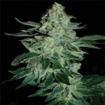 Tutankhamon - Pyramid seeds -