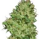 Utopia Haze  - Barney´s farm seeds feminized -